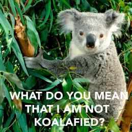 what-do-you-mean-that-i-am-not-koalafied